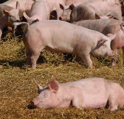 Schweinepest mittlerweile in Ungarn