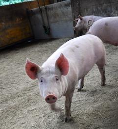 Optimistische Schweine mit Stroh