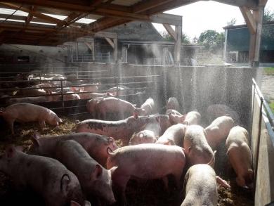Schweine Kühlung verschaffen!